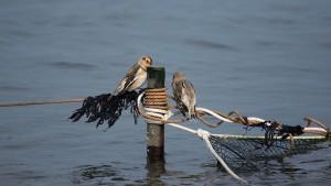 Vogelexcursie Lauwersmeer Sneeuw Gorzen paartje