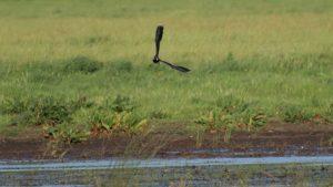 Vogelexcursie Drentsche Aa Kievit