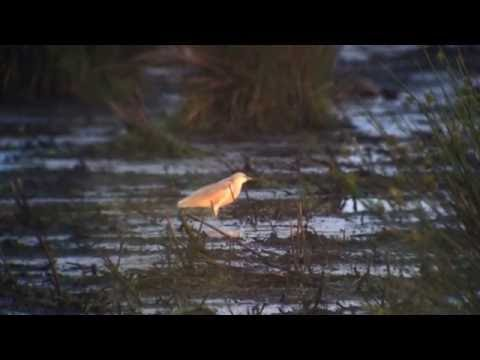 Ralreiger Onlanden Drenthe 3 juni 2016 Birds4You.nl