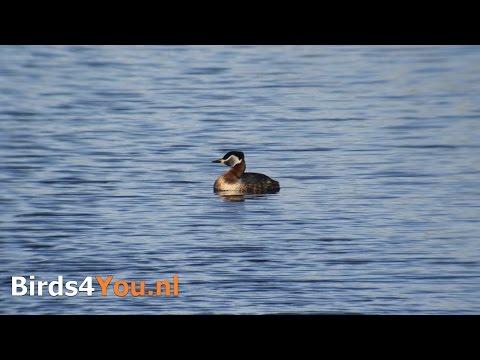 Roodhalsfuut Vogels kijken in Nederland / Birding in the Netherlands Red-necked Grebe