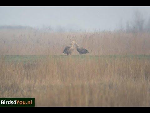 Vogels kijken in het Lauwersmeer bij de Ezumakeeg een Paar Zeearenden