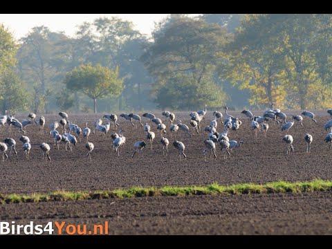 Kraanvogelexcursie naar Diepholz op 31 oktober 2020