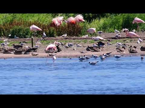 Flamingo vogelexcursie 2018 naar het Zwillbrocker Venn in Duitsland.