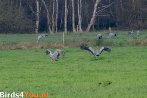 Vogelexcursie Fochteloërveen Kraanvogels