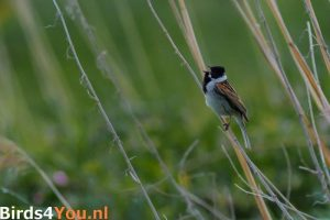 vogelreis Drenthe Rietgors