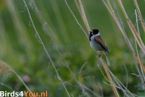 Vogelexcursie Drentsche Aa Rietgors