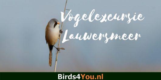 Birding Tour Lauwersmeer the Netherlands Bearded Parrotbill