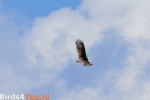 Vogelexcursie Lauwersmeer Zeearend