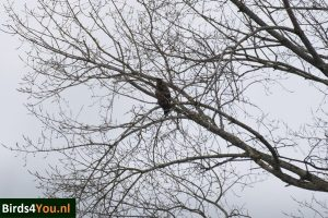 Birding Tour Lauwersmeer the Netherlands White-tailed Eagle in tree