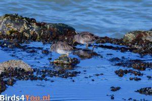 Vogelexcursie Lauwersoog Paarse Strandloper