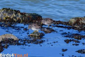 Birding Tour Lauwersoog the Netherlands Purple Sandpiper