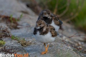 Birding Tour Lauwersoog the Netherlands Ruddy Turnstone