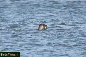 Vogelexcursie Lauwersoog Zeehond