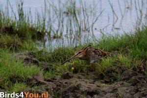 Vogelexcursie Watersnip