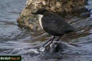 Zwartbuikwaterspreeuw