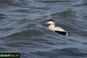Birding Tour Lauwersmeer the Netherlands Common Eider