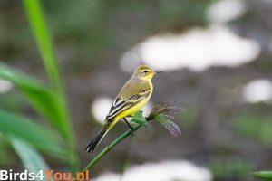 vogelexcursie Lauwersmeer Gele Kwikstaart