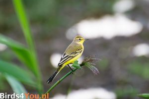 Birding Tour Lauwersmeer the Netherlands Yellow Wagtail