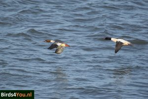 Birding Tour Lauwersmeer the Netherlands Red-breasted Merganser