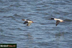vogelexcursie Lauwersmeer Grote Zaagbek