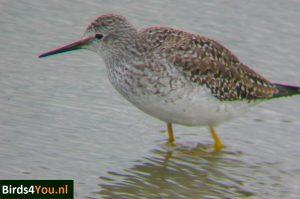 Birding Tour Lauwersmeer the Netherlands Lesser Yellowlegs at Ezumakeeg South