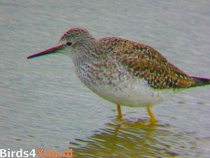 vogelexcursie Lauwersmeer Kleine Geelpootruiter bij Ezumakeeg Zuid
