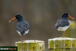 Birding Tour Lauwersmeer the Netherlands Oyster Catcher