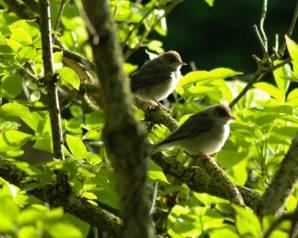 Vogels spotten Jonge Zwartkoppen