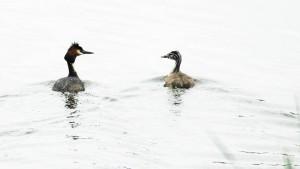Vogelexcursie Diependal Fuut met jong.