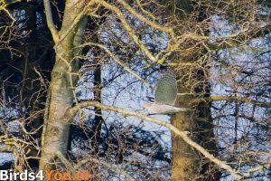 Vogelexcursie Diependal Havik