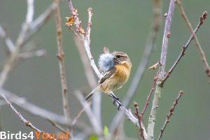 Vogelexcursie Diependal Roodborsttapuit