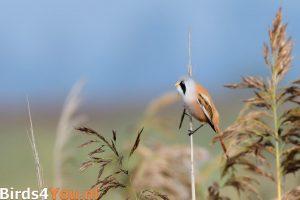 Vogelexcursie Lauwersmeer Baardman