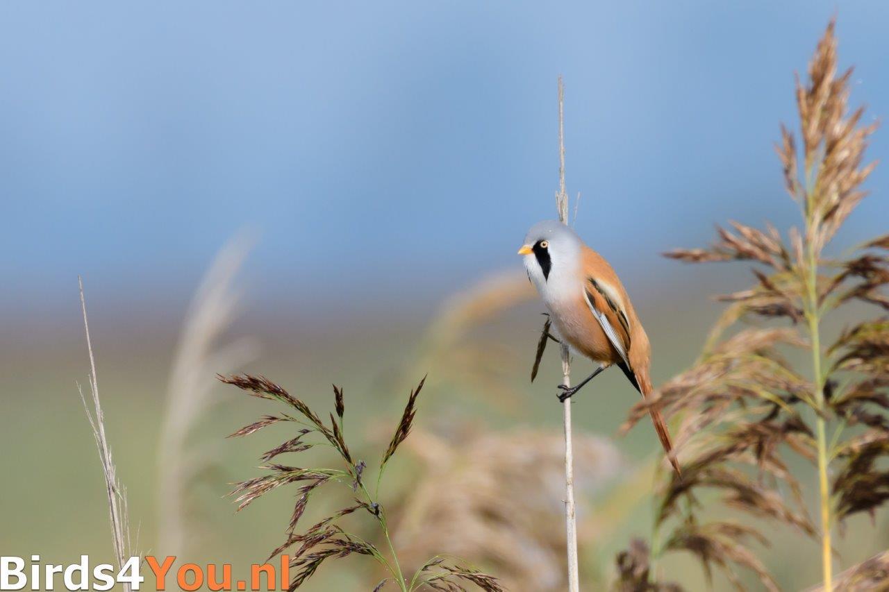 Vogels kijken Baardman-man Lauwersmeer.