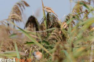 vogelexcursie Lauwersmeer Baardmannetjes
