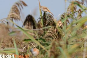 Birding Tour Lauwersmeer the Netherlands Bearded Parrotbills