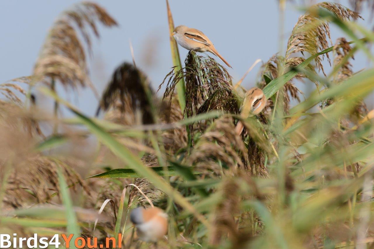 Vogels kijken Baardman vrouw Lauwersmeer