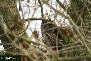 Vogels kijken Oehoe Lauwerzijl Lauwersmeer