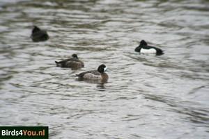 Vogelexcursie Lauwersmeer Topper vrouw