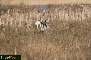 Vogels kijken Havik in de Onlanden Drenthe
