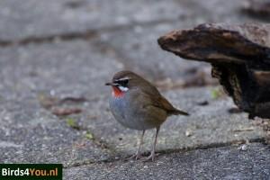 Vogels kijken de Roodkeelnachtegaal Noord-Holland