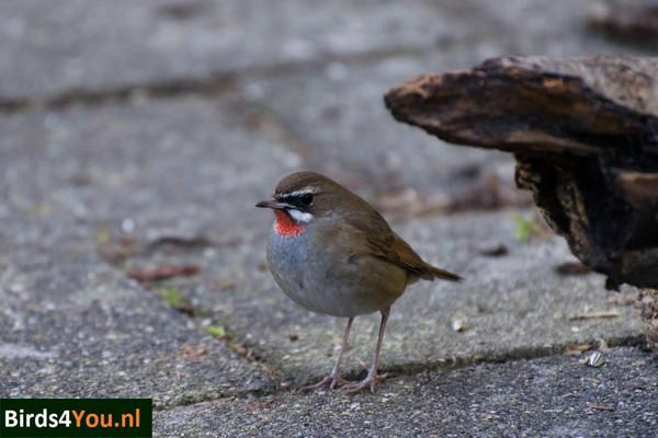 Vogels kijken Roodkeelnachtegaal Noord-Holland