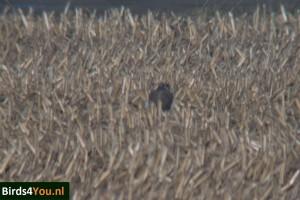 Vogels kijken Noord-Holland Toendraslechtvalk
