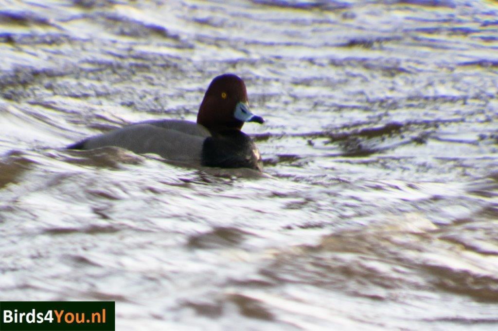 Vogels kijken Noordhorn Groningen Amerikaanse Tafeleend