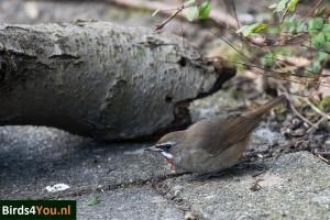 Vogels kijken de Roodkeelnachtegaal Noord-Holland Hurkend