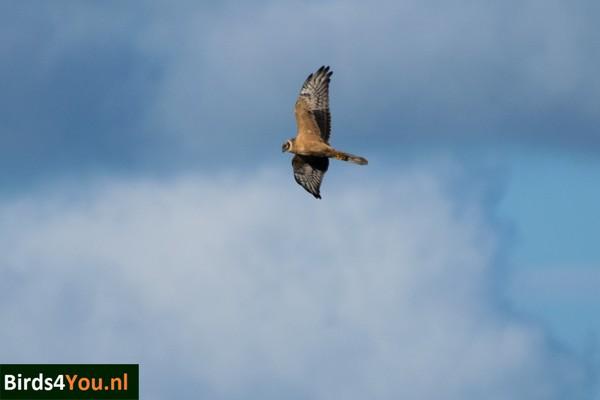 Vogels-kijken Steppekiekendief in de Onlanden Drenthe