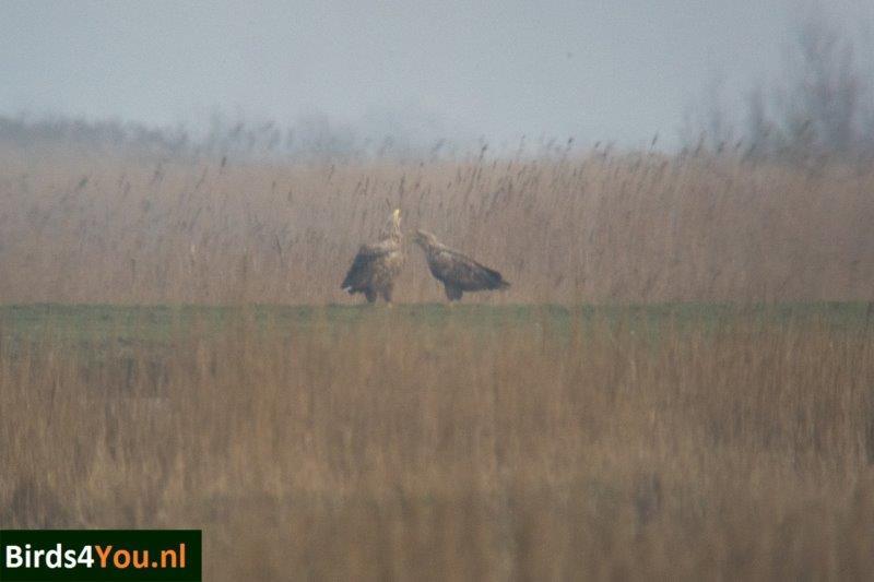 Vogels kijken bij Ezumakeeg Zuid Lauwersmeer Zeearenden Baltsend