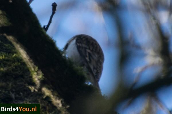 Vogels kijken Dwingelderveld Taigaboomkruiper Trapje