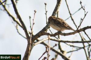 Vogels kijken Friesland Dwerggors