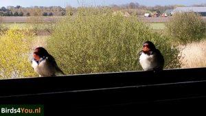 Verslag vogelexcursie Diependal Hijkerveld Boerenzwaluw