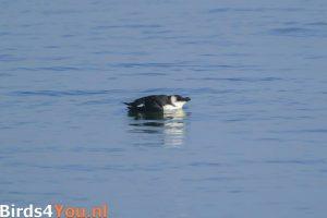 Birding Texel Razorbill
